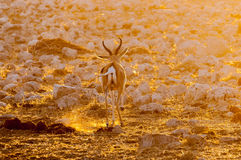 Springbok ram walking in last rays of the setting sun. A springbok ram Antidorcas marsupialis, walking in the last rays of the setting sun in Northern Namibia Royalty Free Stock Photos
