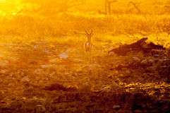 Springbok ram walking in last rays of the setting sun. A springbok ramAntidorcas marsupialis, walking in the last rays of the setting sun in Northern Namibia Stock Images
