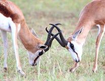 Springbok Rams Royalty Free Stock Photo