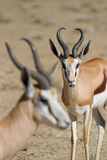 Springbok rams. Two springbok rams with the focus on the animal in the back Stock Photography