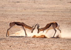 Springbok Rams Fighting Stock Photo