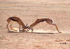 Springbok Rams Fighting Royalty Free Stock Photo