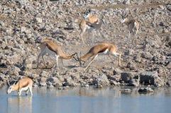 Springbok rams fighting. At Okaukeujo in the Etosha National Park Stock Image