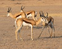 Springbok Rams. In the Kgalagadi Transfrontier Park straddling South Africa and Botswana Stock Photography