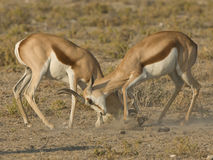 Springbok rams sparring Royalty Free Stock Photo