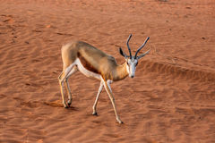 Springbok on the red dunes of the Kalahari desert Stock Photos