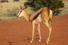 Springbok on the red dunes of the Kalahari desert Stock Image