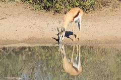 Springbok Reflection - Wildlife from Africa - Color from Mother Earth Royalty Free Stock Images