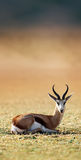 Springbok resting on green grass Royalty Free Stock Images