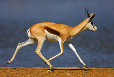 Springbok running. Past a waterhole; Etosha; Antidorcas Marsupialis Royalty Free Stock Photography