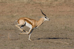 Springbok running Stock Images