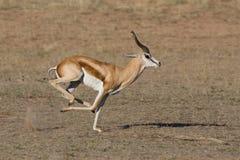 Springbok running. A male springbok running in a dry riverbed in the kalahari desert Stock Images