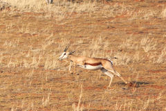 Springbok running fast Royalty Free Stock Images