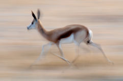 Springbok Running Stock Photography