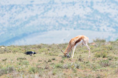 Springbok scratching its head while a pied crow looks on Stock Images