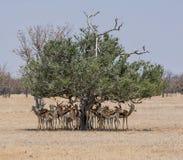 Springbok Seeking Shade. A herd of Springbok antelope seeking shde from the namibian sun under a tree Stock Image