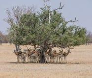 Springbok Seeking Shade. A herd of Springbok antelope seeking shde from the namibian sun under a tree Royalty Free Stock Photography