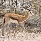 Springbok Stock Photos
