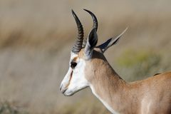 A well lit springbok in the Namibian sunlight in Etosha National Park, Africa stock photos