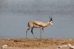 Springbok. Side view of Springboks against waterhole Stock Image