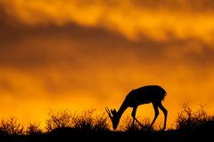 Springbok silhouette, Kalahari Royalty Free Stock Images