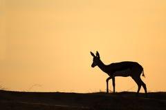 Springbok silhouette, Kalahari desert Stock Image