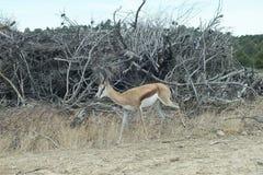 Springbok simple Photos stock
