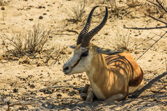 Springbok. Sitting resting in Etosha National Park, Namibia, Africa, dry season Royalty Free Stock Photography