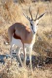 Springbok solitaire Images libres de droits