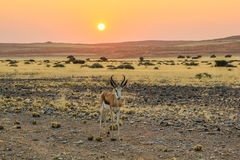 Springbok solitary at sunset in the Namib Desert Stock Photos