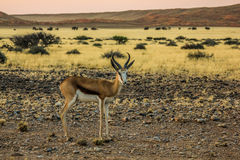 Springbok solitary at sunset in the Namib Desert Stock Image