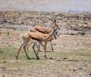 Springbok. Antelope in Southern African savanna Stock Image