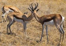 Springbok. In the Central Kalahari Game Reserve, Botswana Royalty Free Stock Images