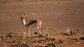 Springbok (springbuck), looking at camera Stock Photo
