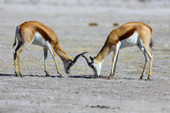 Springbok stand-off Royalty Free Stock Photos