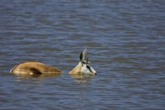 Springbok standing in deep water Stock Images