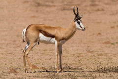 Springbok standing on a sand plain in the kalahari Royalty Free Stock Images
