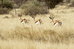 Springbok steppe Stock Photos