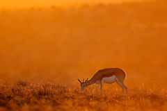 Springbok at sunrise Stock Photo