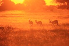 Springbok Sunset Gold - Wildlife Background from Africa - Natural Colors. A Springbok herd moves across an open field as the sun sets over the wilds of Africa Royalty Free Stock Images