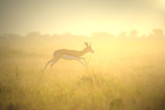 Springbok Sunset - Wildlife Background from Africa - Nature Golden Run Royalty Free Stock Images