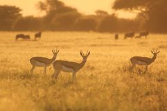 Springbok Sunset - Wildlife Background from Africa - Nature and Her Colors Stock Photography