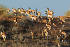 Springbok sur la dune de sable Images stock