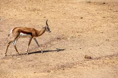 Springbok sur la marche de sable photo stock
