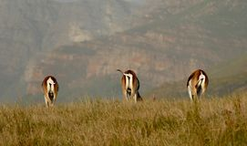 Springbok. Three springboks tails Africa South Africa swishing wildlife rearend stock images