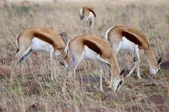 Springbok trois de pâturage dans un domaine Images libres de droits