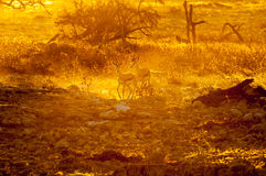 Springbok walking  in the last rays of the setting sun. Two springbok Antidorcas marsupialis, walking in the last rays of the setting sun in Northern Namibia Royalty Free Stock Photo