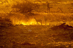 Springbok walking  in the last rays of the setting sun. Two springbok Antidorcas marsupialis, walking in the last rays of the setting sun in Northern Namibia Royalty Free Stock Image