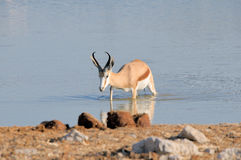 Springbok walking in water Stock Image