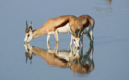 Springbok at waterhole Stock Image